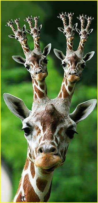e926 edit fractal giraffe headshot_portrait i_can_see_forever looking_at_viewer male mammal mise_en_abyme multi_head photo_manipulation portrait real solo source_request unknown_artist what what_has_science_done why
