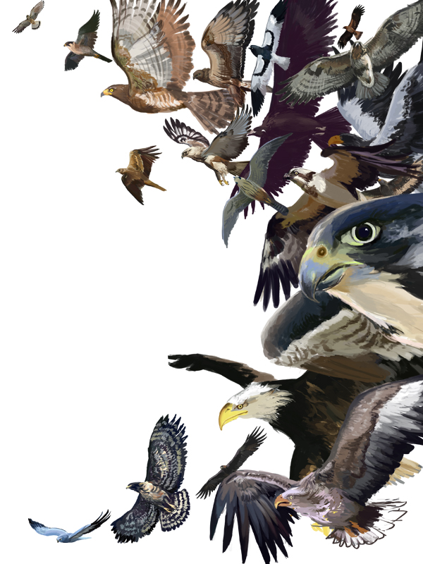 e926 ambiguous_gender american_kestrel avian bald_eagle beak bird bird_of_prey brown_feathers claws eagle falcon feathers feral flying golden_eagle grey_feathers group hen_harrier kestrel nio_nio osprey peregrine_falcon sea_eagle steller's_sea_eagle tag_panic