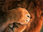 4:3 facepalm feline feral humor lion male mammal orange_theme reaction_image real solo unknown_artist wallpaper warm_colors