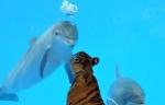ambiguous_gender black_fur black_stripes blue_background bubble cetacean dolphin feline feral fur group mammal marine multicolored_fur orange_fur real simple_background striped_fur stripes tiger unknown_artist white_furRating: SafeScore: 0User: Old_sageDate: August 28, 2009