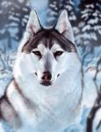 2017 ambiguous_gender canine day detailed_background dog feral fur husky looking_at_viewer mammal outside solo tatchit white_furRating: SafeScore: 13User: MillcoreDate: August 26, 2017