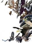 ambiguous_gender american_kestrel avian bald_eagle beak bird bird_of_prey brown_feathers claws eagle falcon feathers feral flying golden_eagle grey_feathers group hen_harrier kestrel nio_nio osprey peregrine_falcon sea_eagle steller's_sea_eagle tag_panicRating: SafeScore: 4User: mscDate: March 20, 2009