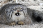 ambiguous_gender cat disgruntled feline feral hi_res looking_at_viewer mammal pallas's_cat reaction_image real solo unknown_artist