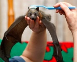 ambiguous_gender bat black_eyes brown_fur brushie_brushie_brushie brushing cute disembodied_hand duo feral flying_fox fruit_bat fur grooming holding_character human looking_at_viewer mammal membranous_wings photography real snout toothbrush unknown_artist wings